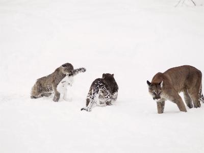 Mountain Lion, with Cubs in Snow, USA-Mary Plage-Photographic Print