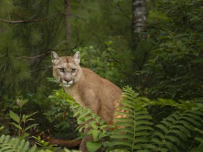 Mountain Lion with Ferns-Galloimages Online-Photographic Print