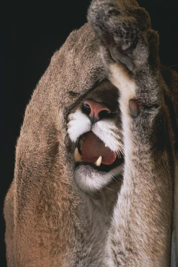 Mountain Lion with Paws over Eyes-DLILLC-Photographic Print