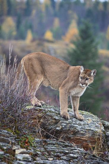 Mountain Lion-DLILLC-Photographic Print