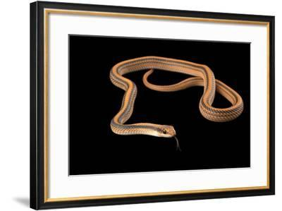 Mountain patch nosed snake, Salvadora grahamiae grahamiae-Joel Sartore-Framed Photographic Print