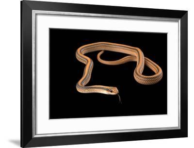 Mountain patch nosed snake, Salvadora grahamiae grahamiae-Joel Sartore-Framed Photographic Print