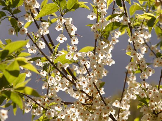 Mountain Silverbell Flowers, Jamaica Plain, Massachusetts USA-Darlyne A^ Murawski-Photographic Print