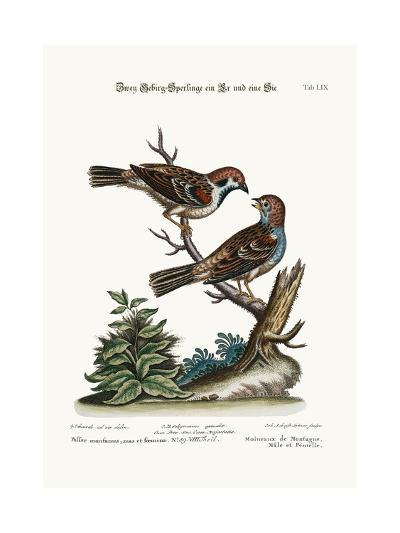 Mountain Sparrows, Cock and Hen, 1749-73-George Edwards-Giclee Print