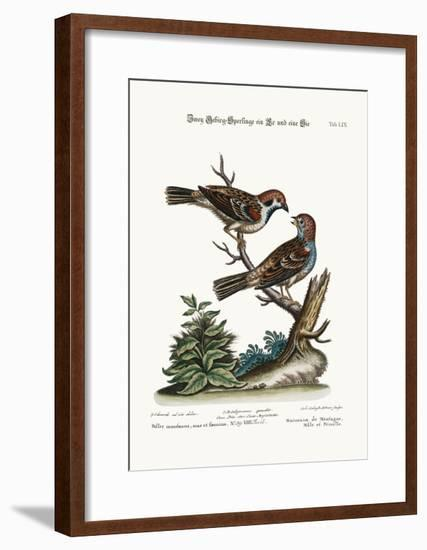 Mountain Sparrows, Cock and Hen, 1749-73-George Edwards-Framed Giclee Print