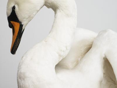 Mounted Swan-J^ James-Photographic Print