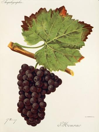 Mourac Grape-J. Troncy-Giclee Print