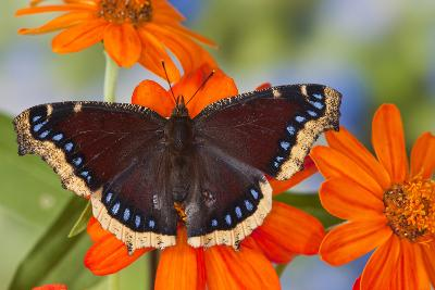 Mourning Cloak Butterfly-Darrell Gulin-Photographic Print