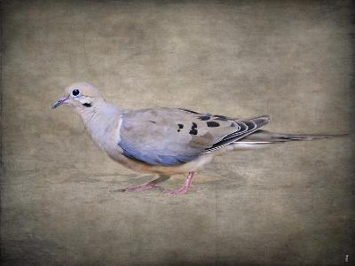 Mourning Dove Portrait-Jai Johnson-Giclee Print