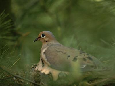 Mourning Dove (Zenaida Macroura) Nesting in a Pine Tree-Brian Gordon Green-Photographic Print