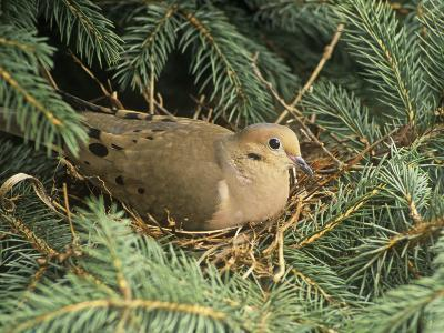 Mourning Dove, Zenaida Macroura, on its Nest in a Blue Spruce Tree, Picea Pungens, North America-Adam Jones-Photographic Print