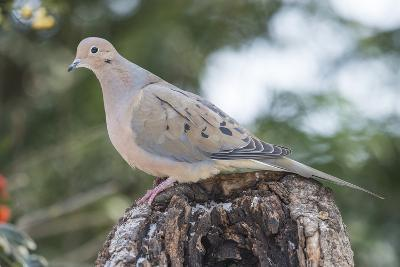 Mourning Dove-Gary Carter-Photographic Print