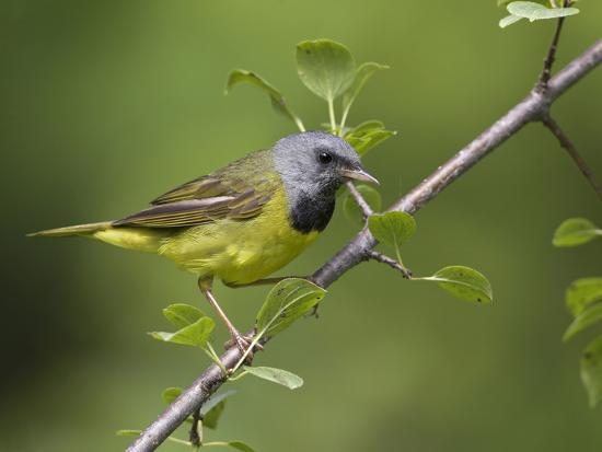 Mourning Warbler (Oporornis Philadelphia) Perched on a Branch, Ontario, Canada-Glenn Bartley-Photographic Print