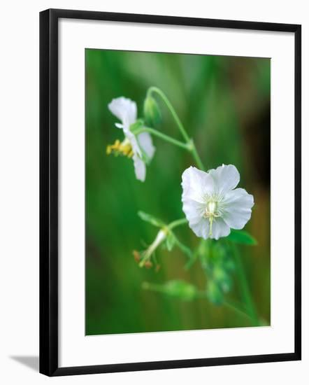 Mourning Widow, Close-up of White Flower-Lynn Keddie-Framed Photographic Print