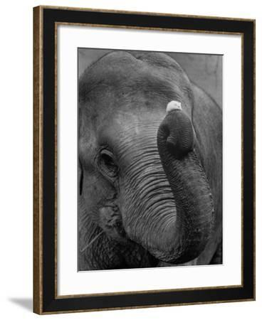 Mouse Balancing on Elephant's Trunk-Bettmann-Framed Photographic Print