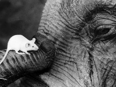Mouse Crawls up Elephants Trunk--Photographic Print