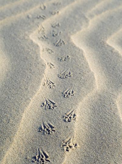 Mouse Footprints in the Sand of Dunes, Belgium-Philippe Clement-Photographic Print