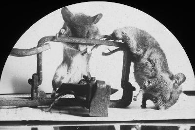 Mouse or Rat Trap?, Late 19th or Early 20th Century--Photographic Print
