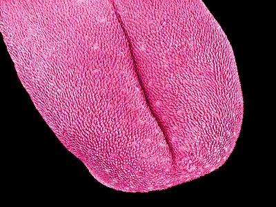 Mouse tongue-Micro Discovery-Photographic Print