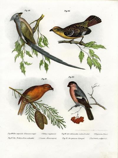 Mousebird, 1864--Giclee Print