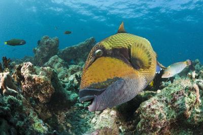 Moustache Triggerfish-Reinhard Dirscherl-Photographic Print
