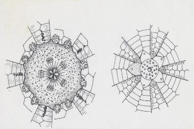 Mouth and Anal Openings of Female Purple Sea Urchin (Paracentrotus Lividus), Echinoderms--Giclee Print