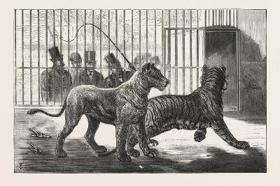 Moving the Carnivora, Lions, to the New Houses at the Zoological Gardens, London, 1876, Uk--Giclee Print