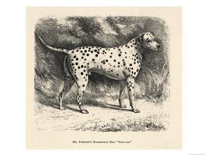 Mr. Fawdrys Dalmation Dog Captain