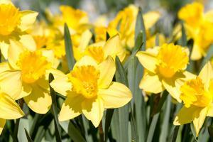 Yellow Spring Narcissus by MrTwister