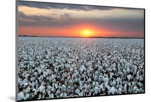 Cotton Field at Sunset by mshhoward