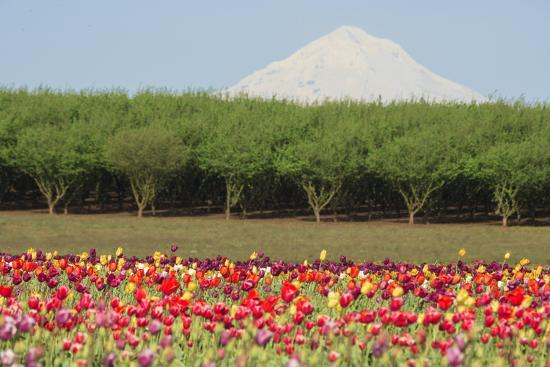 Mt. Hood and tulip fields, Willamette Valley, Oregon-Stuart Westmorland-Photographic Print