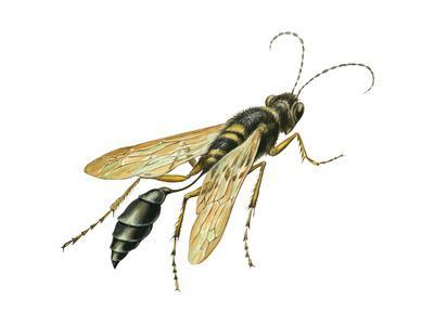 Mud Dauber (Crabronidae), Wasp, Insects-Encyclopaedia Britannica-Art Print