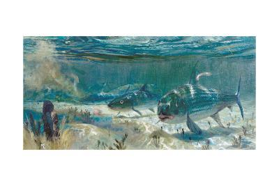 Mudding Up with the Tide, 1972: Bonefish Search the Shallow Water Flats for a Tasty Shrimp or Crab-Stanley Meltzoff-Giclee Print