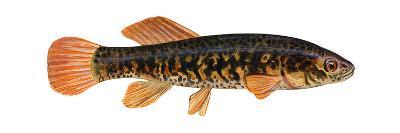 Mudminnow (Umbra Limi), Fishes-Encyclopaedia Britannica-Art Print
