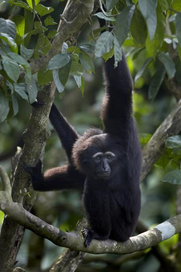 Mueller's Gibbon Hanging in a Tree, Singapore-Tim Fitzharris-Photographic Print