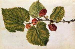 Mulberry: Morus Nigra, circa 1568, by J.Le Moyne de Morgues