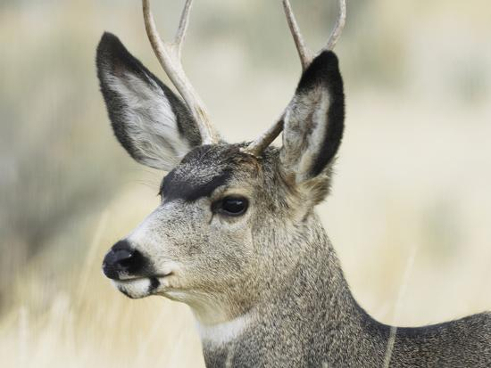 Mule Deer, Buck, Idaho, Usa-Gerry Reynolds-Photographic Print
