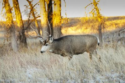 Mule Deer Buck in Winter Grassland Cover-Larry Ditto-Photographic Print