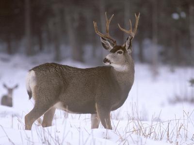 Mule Deer Buck in Winter-Chuck Haney-Photographic Print
