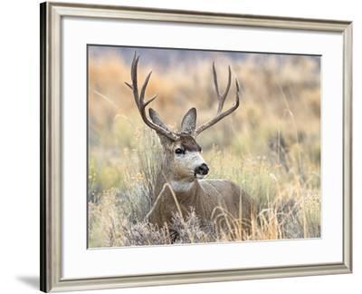 Mule Deer Buck-Larry McFerrin-Framed Photo