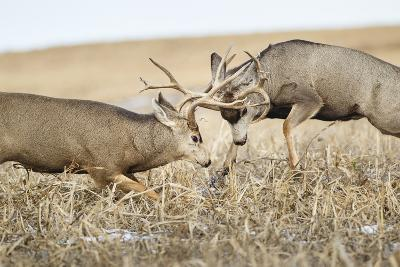 Mule Deer Bucks Fighting During Rut-Larry Ditto-Photographic Print