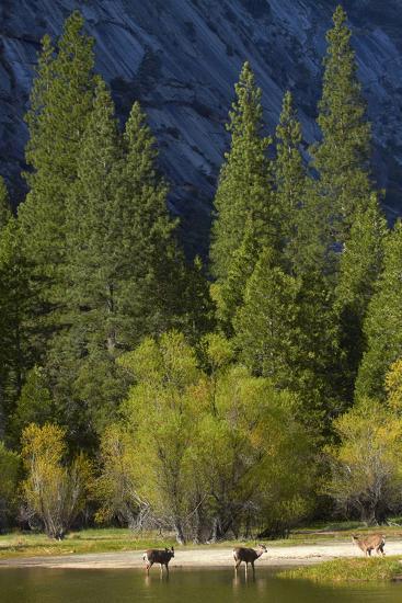 Mule Deer by Mirror Lake, Tenaya Canyon, Yosemite NP, California-David Wall-Photographic Print