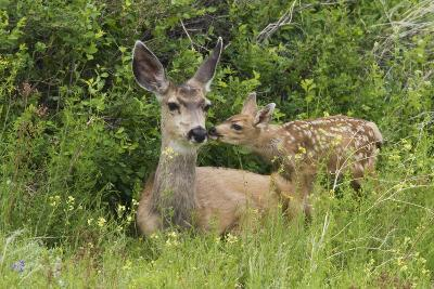 Mule Deer Doe with Fawn-Ken Archer-Photographic Print