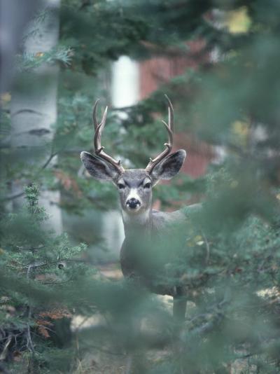 Mule Deer Enjoys Outdoor Winter Fun-Jeff Foott-Photographic Print