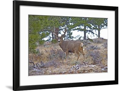Mule Deer in Estes Park, Colorado, USA-Michael Scheufler-Framed Photographic Print