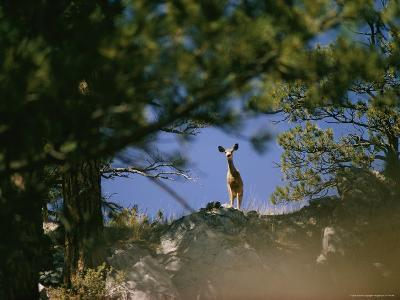 Mule Deer Looking Down at the Camera from a Ridge-Dick Durrance-Photographic Print