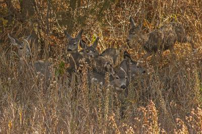 Mule Deer, Odocoileus Hemionus, are Almost Camouflaged as They Watch for Predators-Gordon Wiltsie-Photographic Print