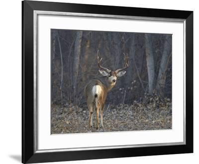 Mule Deer (Odocoileus Hemionus) Buck-James Hager-Framed Photographic Print
