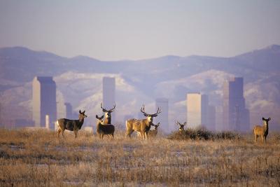 Mule Deer (Odocoileus Hemionus)-Wendy Shattil-Bob Rozinski-Photographic Print