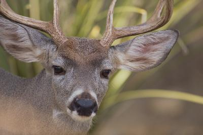 Mule Deer-DLILLC-Photographic Print